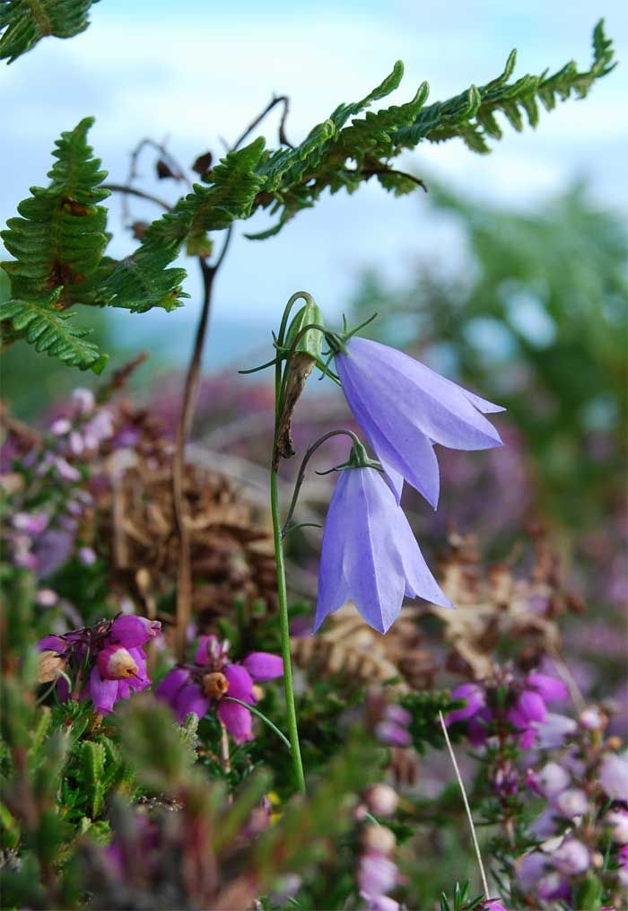 Delicate, nodding blue bells of 'Harebells' are one of the prettiest flowers on the grasslands, hillsides, sand dunes, and cliffs.  July---September.  Harebells grow on dry, mostly undisturbed, ground, but are tolerant of all kinds of habitats.  Regularly visited by bumblebees and honey bees, providing an autumnal source of nectar for these insects. In Scotland, this is often the plant referred to as 'bluebell'.