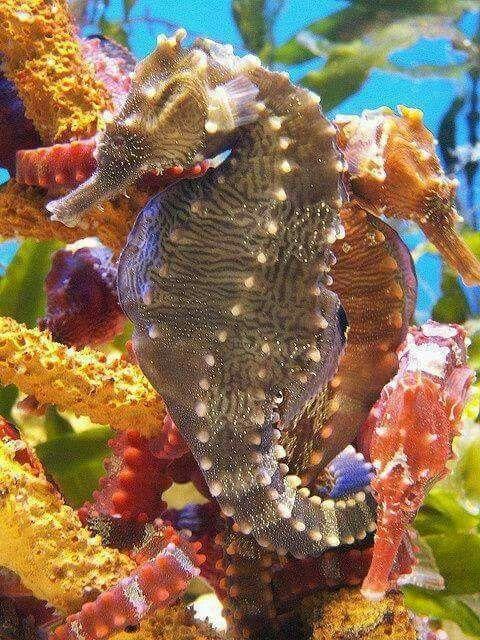 Cavalluccio marino barriera corallina