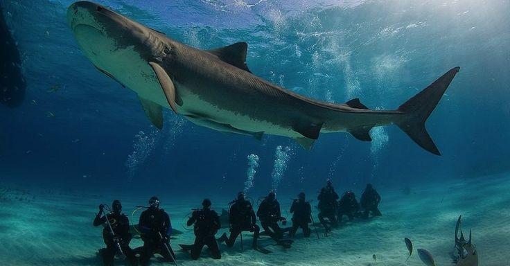 Pesquisadores 'instalam' GPS em tubarões em programa de preservação - UOL Notícias