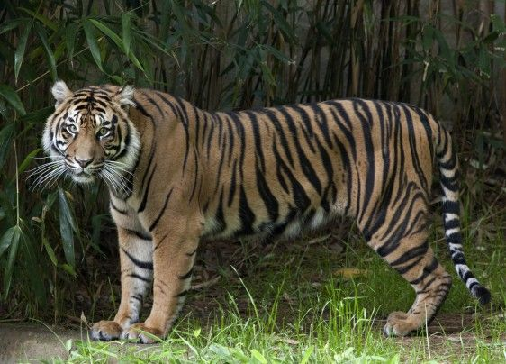 THE National Zoo launches 'endangered song' to help save tigers - The Washington Post