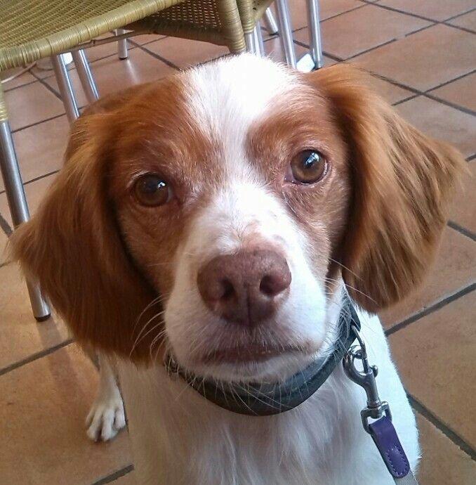 Ralphie; my Brittany Spaniel.