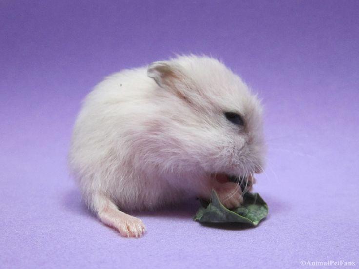 https://flic.kr/p/FZuxvY   Filhote de Hamster