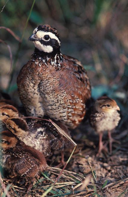 Bobwhite quail chicks! | bees and birds or birds and bees ...