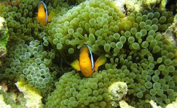 Ocet je nadějí pro korálové útesy sužované hvězdicí trnitou