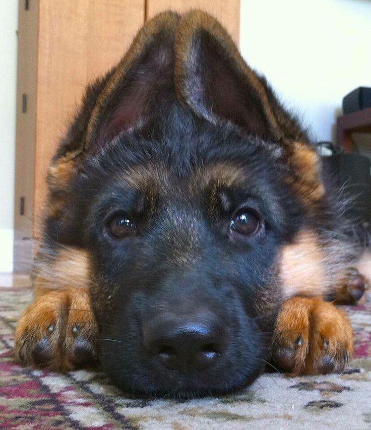 GSD puppy....so peaceful - for the moment!