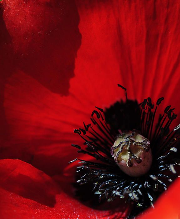 glorious red poppy - one of my favorites.