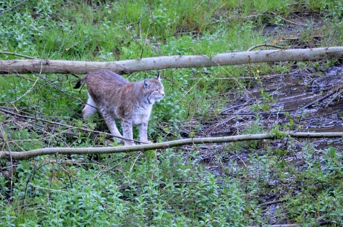 Lynx lynx (Lince europea) - Parco Nazionale d'Abruzzo, Lazio e Molise ©Lumachina