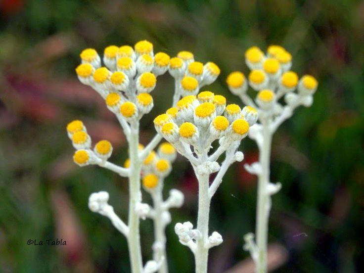 El Blog de La Tabla: Hojas bonitas, plantas bonitas. Senecio cineraria