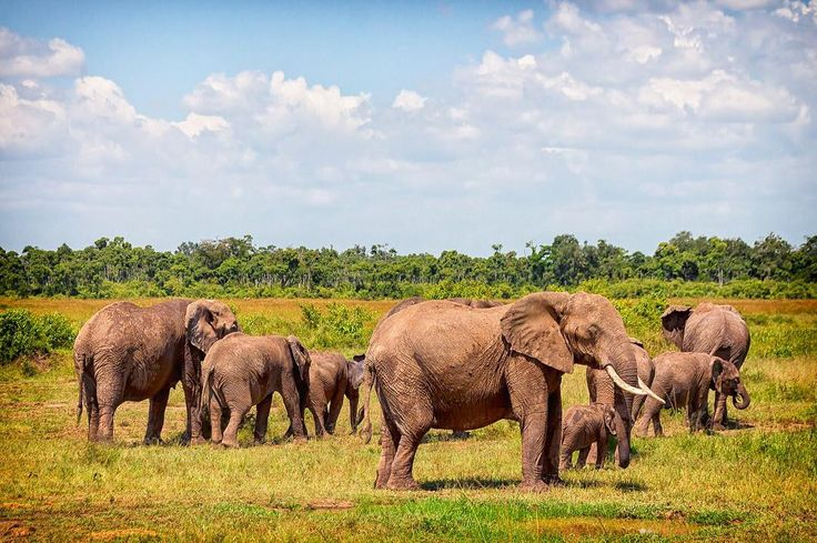 We encountered this lovely #elephant herd while driving in South Luangwa National Park in #Zambia.
