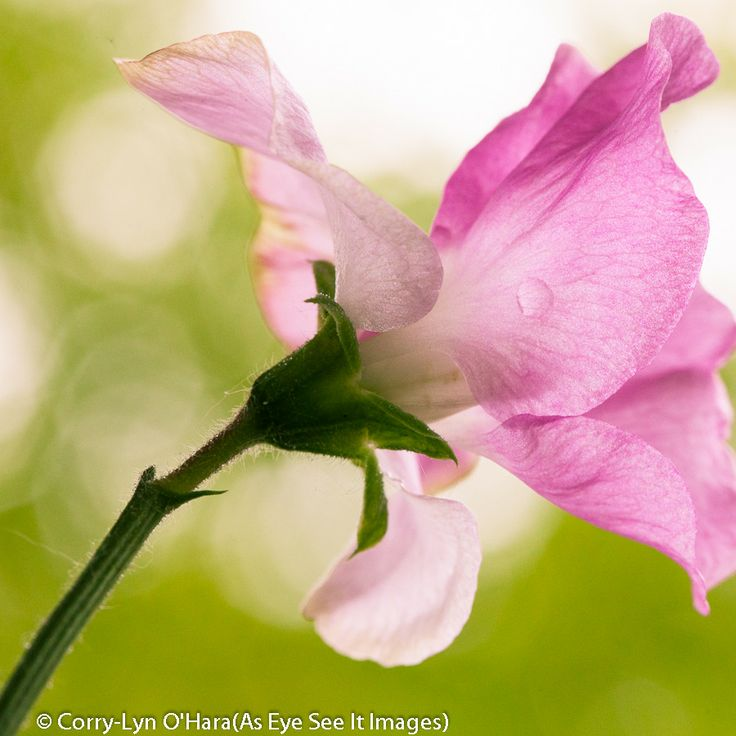Photograph Sweet Pea by Corry-Lyn O'Hara on 500px