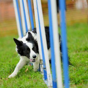 Even looks like my little Sookie!!! <3 Top dog agility breeds