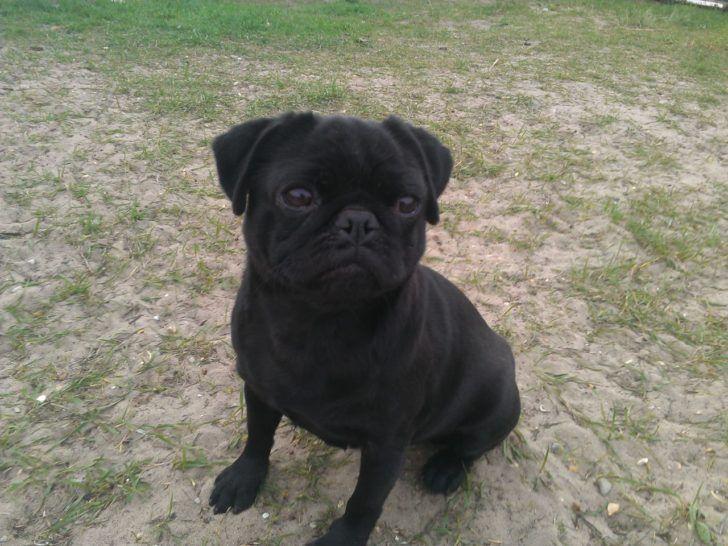 Soooo Cute Found On Zedge Black Pug Puppies Cute Pugs Puppies