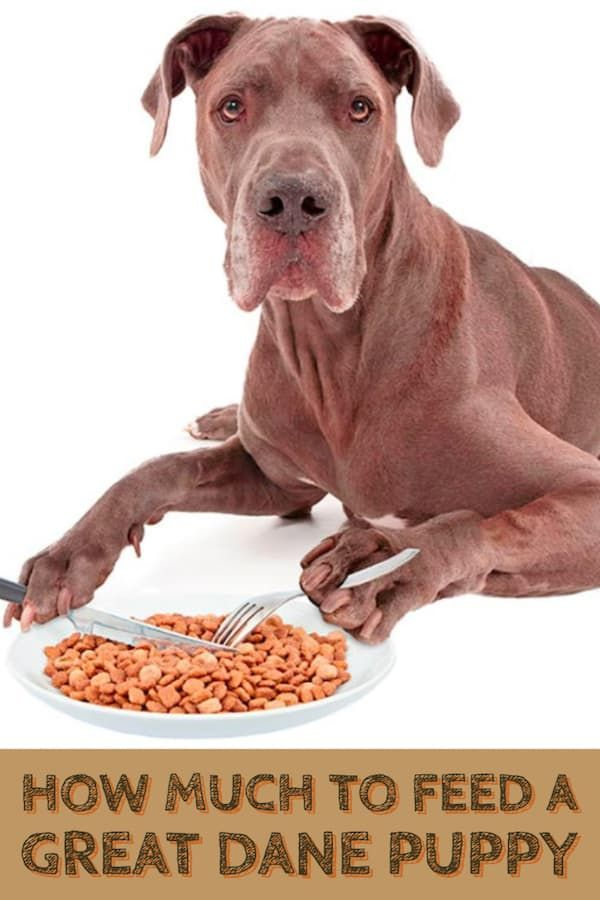 A Simple Guide On How Much When And What To Feed A Great Dane
