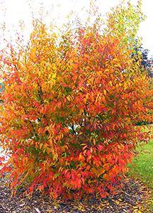 Wisconsin Native Carpinus Caroliniana Musclewood