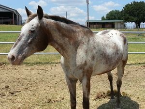 Logan is an adoptable Appaloosa Horse in Argyle, TX. Mr Logan is an incredibly gentle, sweet soul. He is very calm and very easy to care for and love. He has no medical issues and no bad habits, exc...