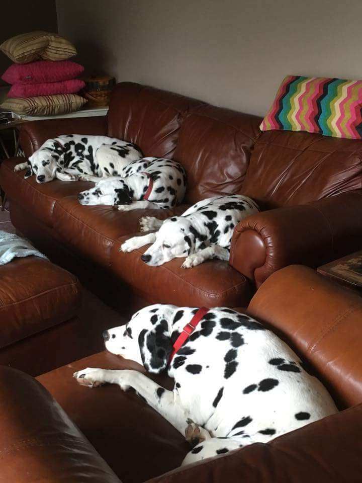 Our Dalmatian breeder and all his doggies