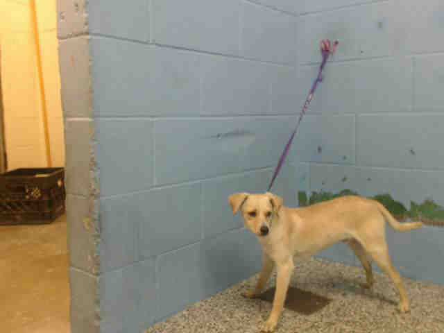 Chihuahua dog for Adoption in San Bernardino, CA. ADN-446998 on PuppyFinder.com Gender: Male. Age: Adult