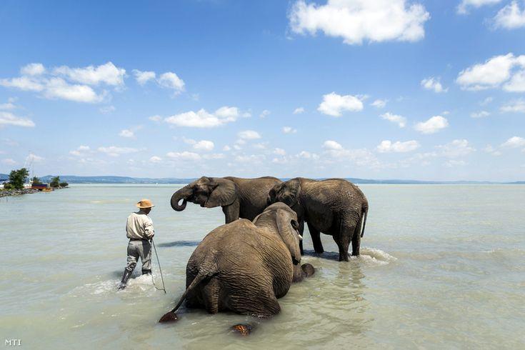Elephants in the lake Balaton