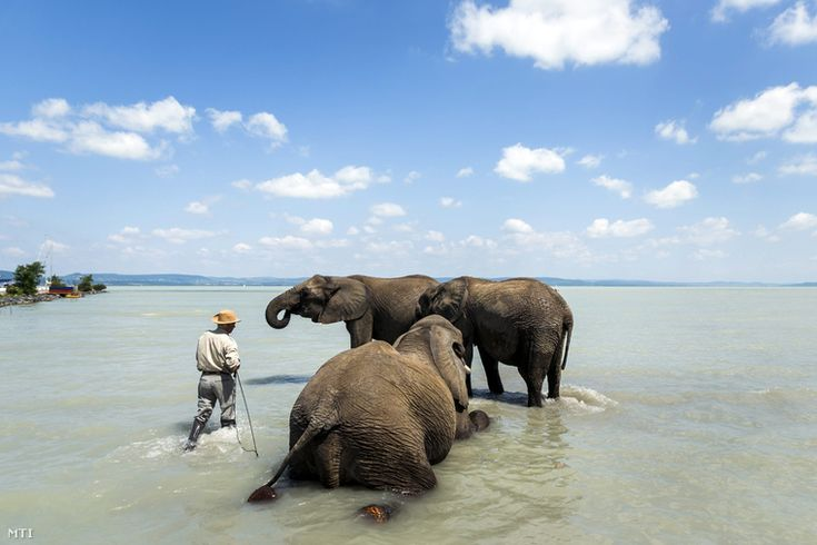 Elephants in the lake Balaton