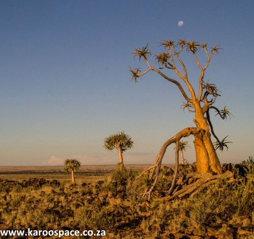 quiver trees of the northern cape
