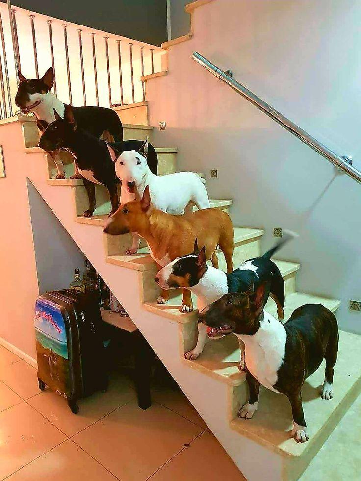 Amazing Bull Terrier crew Stairway to Bully Heaven!