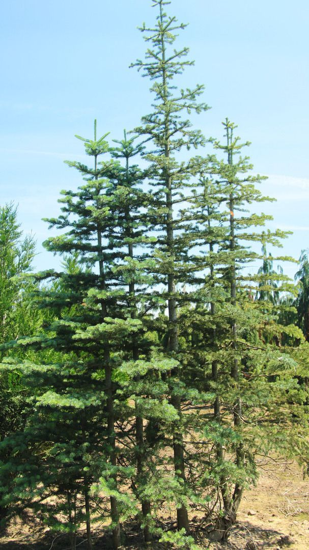 an introduction to the conditions on plants transpiration of pinus strobus Histopathology of primary needles and mortality associated with white pine blister rust in resistant and susceptible pinus strobus 1 introduction.