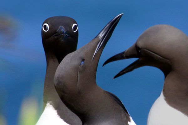 Skomer Island Voted As The UK's Favourite Nature Reserve! guillemots-Lynne-Newton