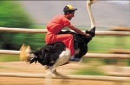 A man riding an ostrich. Ostrich races of this kind are popular in South Africa.