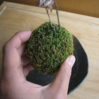 苔玉(コケダマ)の育て方
