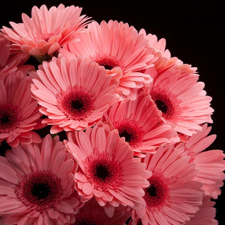 25 beste idee n over roze bloemen op pinterest for Gerbera in de tuin