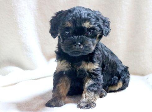 Cavapoo puppy for sale in MOUNT JOY, PA. ADN-59002 on PuppyFinder.com Gender: Female. Age: 7 Weeks Old