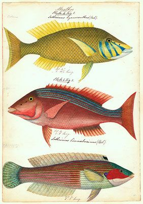 James Barker Emery (c.1794–1889) Sketches of Australian Fishes 1837–1841 watercolour on paper; each 51.0 x 41.0cm Rare Book Collection, State Library of South Australia