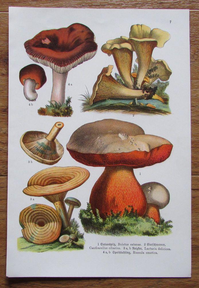 Botanischer Druck - Pflanzen Botanik Druck Atlas des Pflanzenreichs ca. 1920 7