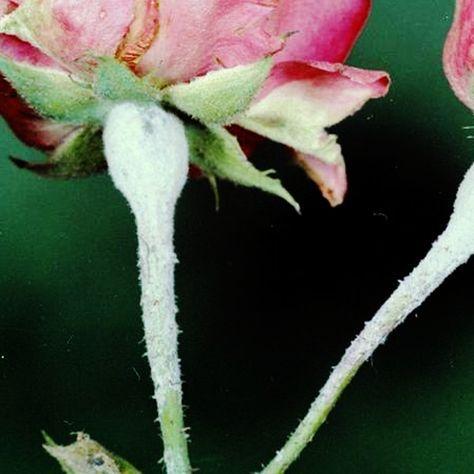 Rosenkrankheiten: Mehltau, Rosenrost und Sternrußtau