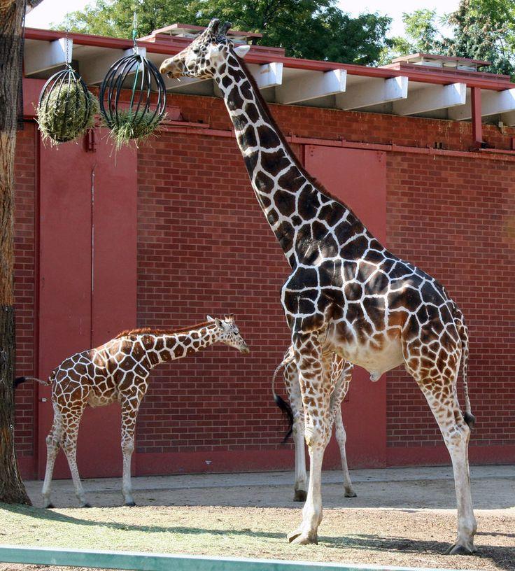 197 Best Images About Giraffe Love On Pinterest