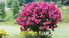 Crape myrtle | Not all trees have to tower. Find the perfect tree for that small corner of your yard