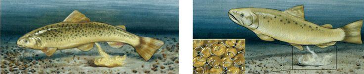 La fecundación es externa cuando la unión del espermatozoide con el óvulo se produce fuera del cuerpo de la hembra.  Este tipo de fecundación se da en los animales acuáticos como en peces y anfibios. La hembra pone centenares de óvulos y el macho esparce sobre ellos un gran número de espermatozoides.