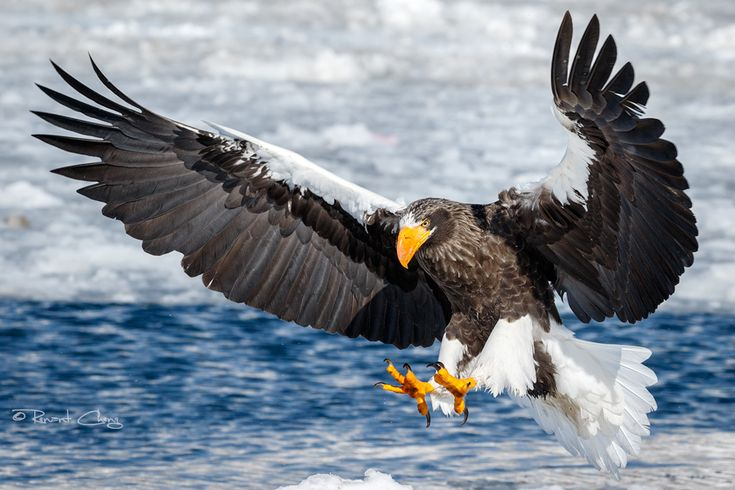 .:Steller's Sea Eagle I:. by RHCheng.deviantart.com on @DeviantArt