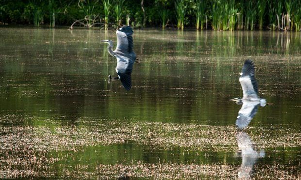 Herons and egrets in the UK – your Green shoots photographs