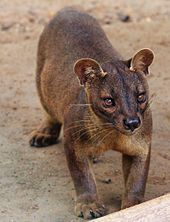 Fossa, now officially on the red list of endangered animals.  One of the funnest and most unique animal I ever worked with. Miss working with them sooo much.