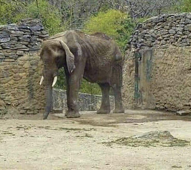 ¡QUÉ TRISTEZA! Así de desnutrida y acabada está Ruperta, la elefante del zoológico de Caricuao - El Informador Web