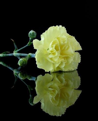 Yellow Carnation -Nice Photography !