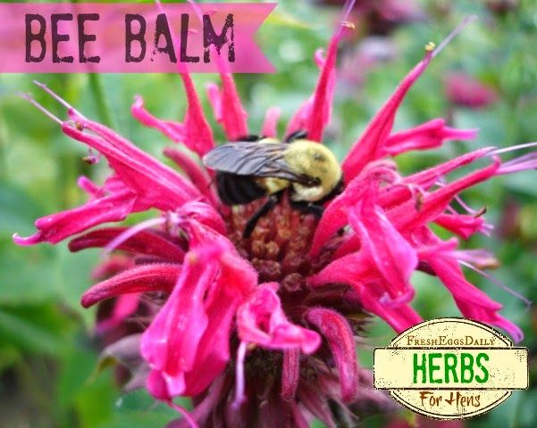 Fresh Eggs Daily®: Herbs for Hens™: Bee Balm