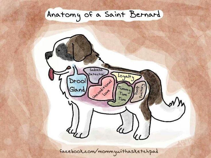 Anatomy of a saint Bernard