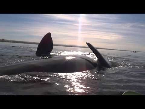 Watch This Whale Lift A Kayak Clear Out Of The Water - Marine Biology