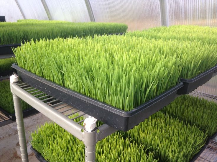 How to grow wheat grass at home for your smoothies.