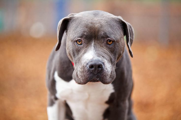 Study after study has shown that a dog's breed is not a major factor that contributes to aggression, and yet breed-specific legislation still targets spec