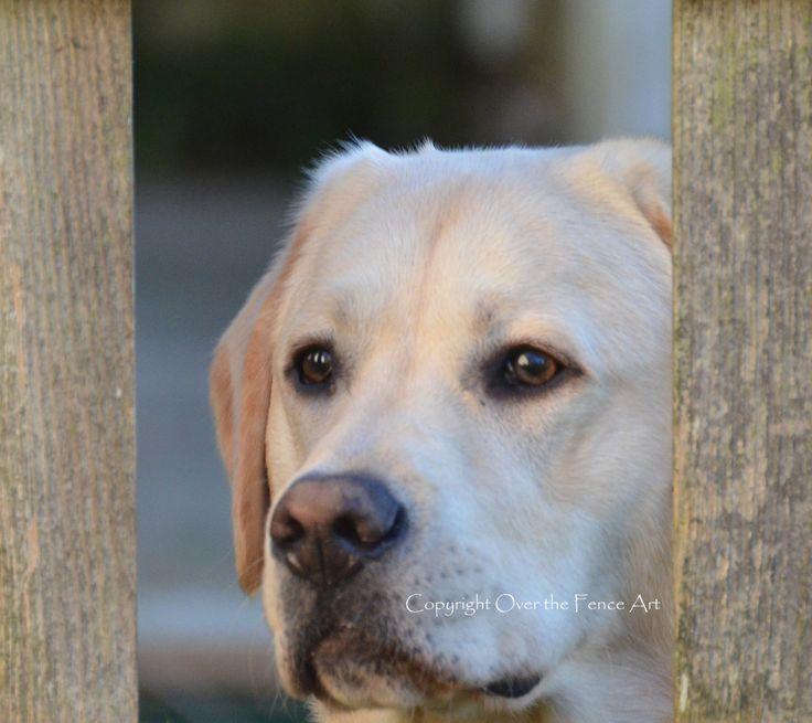 YELLOW LABRADOR Card Dog Peeks Through Fence Animal Art Dog Art Animal Photography by overthefenceart on Etsy