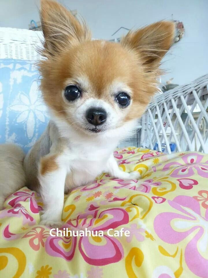 Zeke - Chihuahua Cafe on Facebook