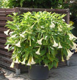 engelentrompet (brugmansia): alle delen van Brugmansia zijn giftig.  Vooral de zaden zijn zeer giftig.  Ook gedroogde delen blijven giftig.  Brugmansia bevat alkaloïden zoals hyosciamine en in  mindere mate atropine en scopolamine.